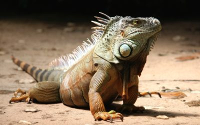 Iguana Control: What To Do and Why