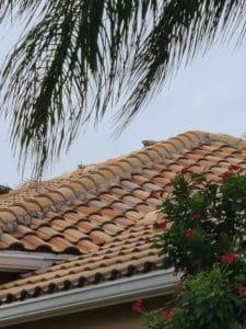 Iguanas on the roof