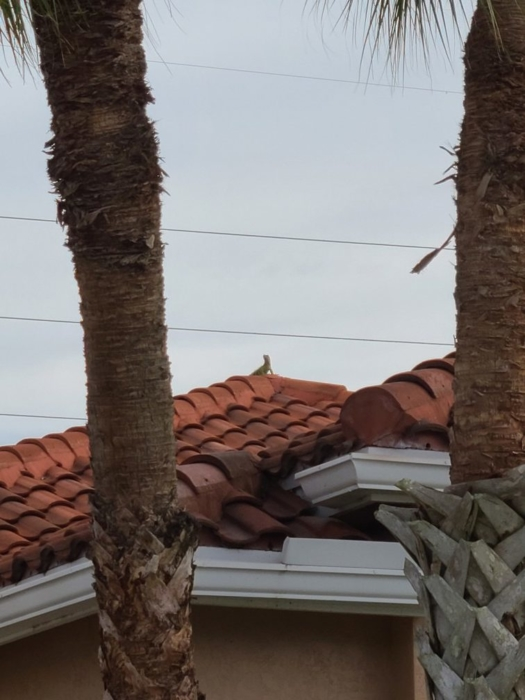 Iguana on the roof 02