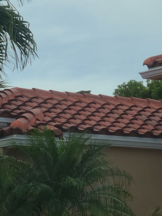 Iguana on the roof 03