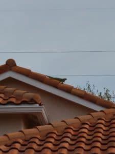 Iguana on the roof 04