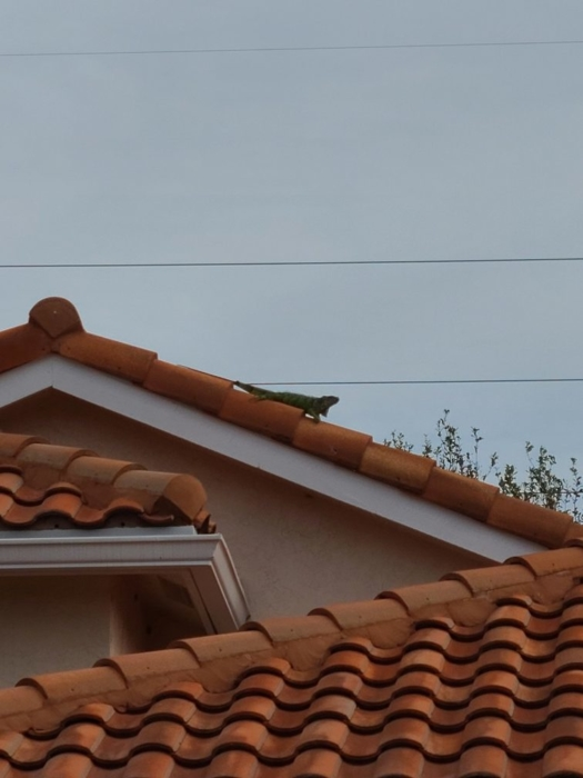 Iguana on the roof 04