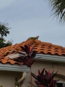 Iguana on the roof 05
