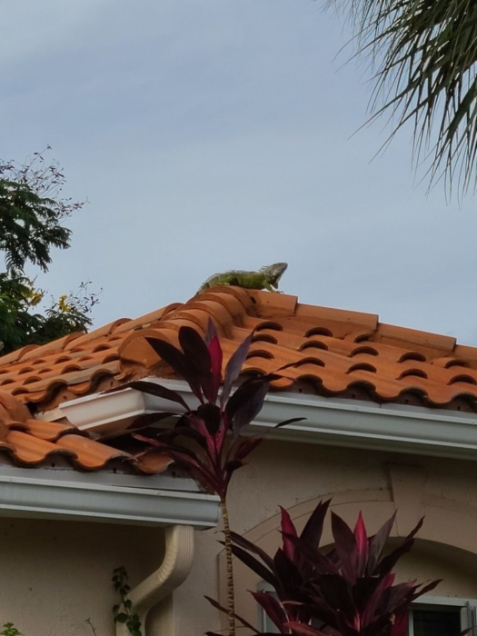 Iguana on the roof 05