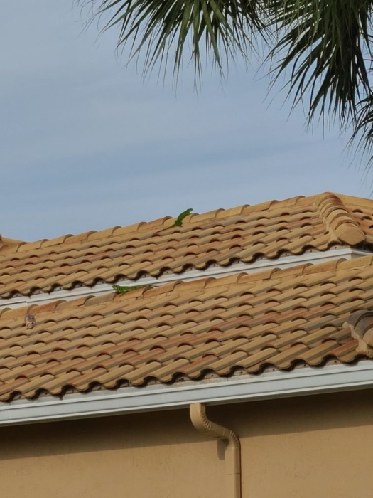 Iguana on the roof 07