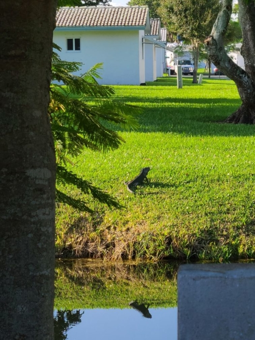 Iguana on the grass