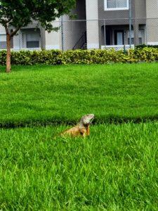 Iguana in a property