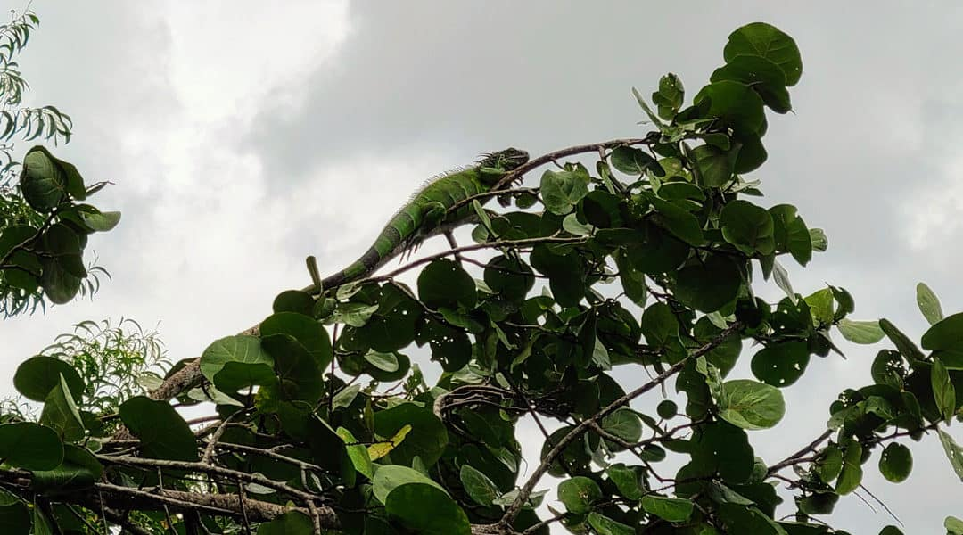 It's Raining Iguanas: Yes, Falling Iguanas Are Now a Thing