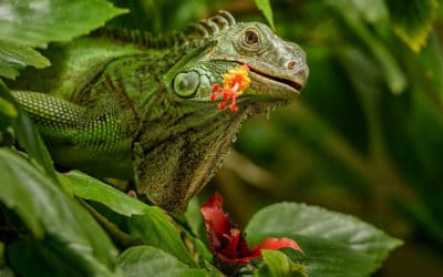 What plant do iguanas hate? Here are plants that iguanas do not eat
