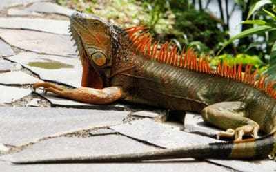 Iguana Removal Tips and Tricks to Keep Them Away From Your Home