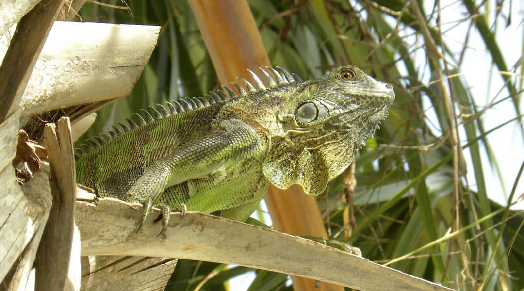 Common Types of Iguanas in Florida