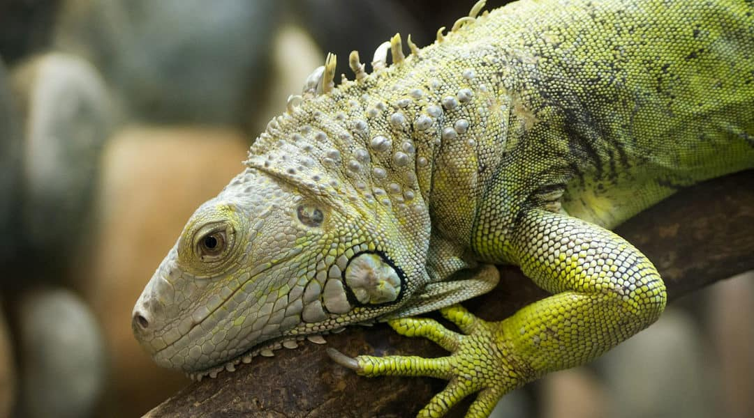 8 Interesting Green Iguana Facts