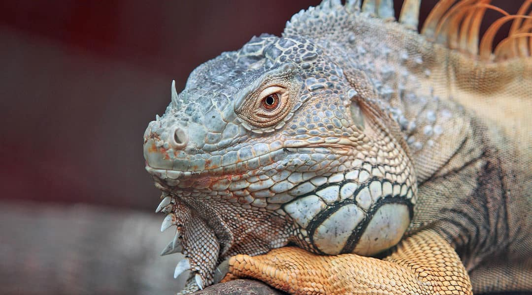 The Iguana Diet, Explained: What Plants Do Iguanas Love and What Plants Do They Hate?