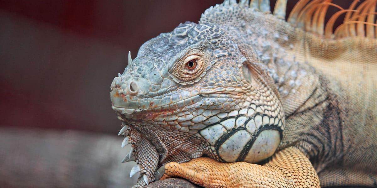 iguana diet